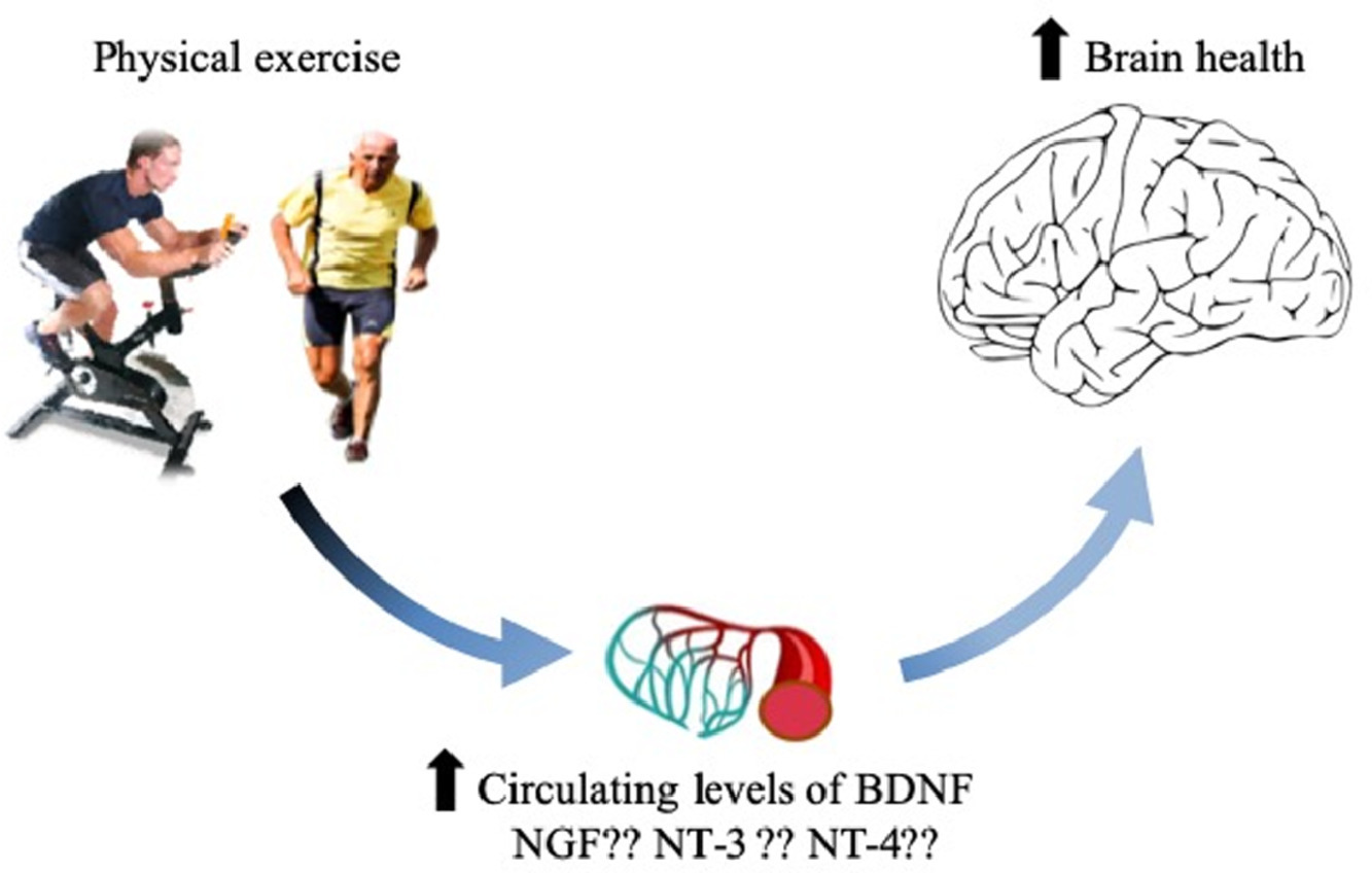 Updated overview on interplay between physical exercise, neurotrophins, and cognitive function in humans Journal Of Sport and Health Science Jan 2020