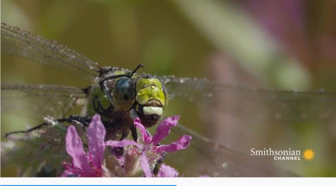 "Wildlife: ""Dragonflies"" Are The Insect World's Most Advanced Predator"