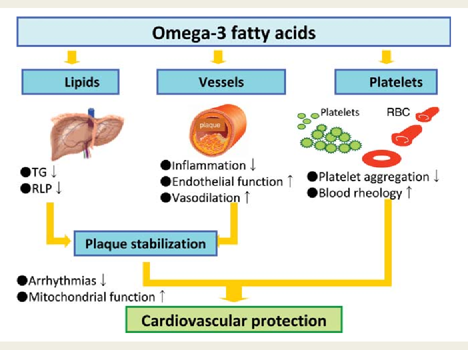 Omega-3 Fatty Acids Cardiovascular Protection