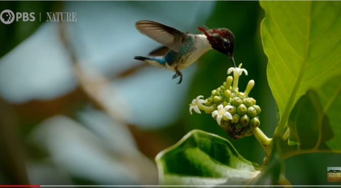 "New Nature Videos: The ""Bee Hummingbird"" – The Tiniest Bird On Earth (PBS)"