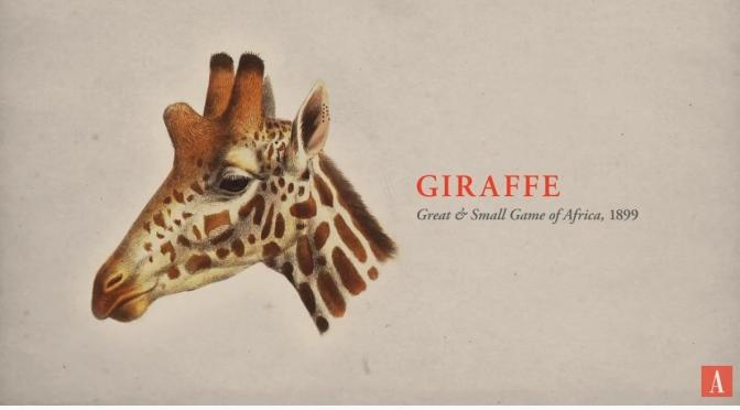 "New Wildlife Videos: ""The World Without Giraffes"" – Can We Save Them?"