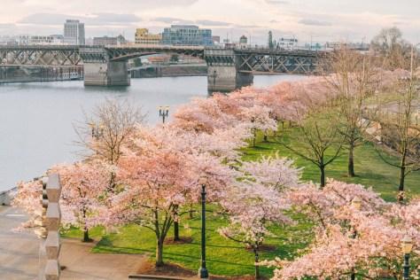 Waterfront Park Portland Oregon Cherry Blossoms