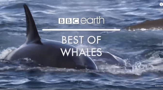 "Top Wildlife Videos: ""Best Of Whales"" (BBC Earth)"