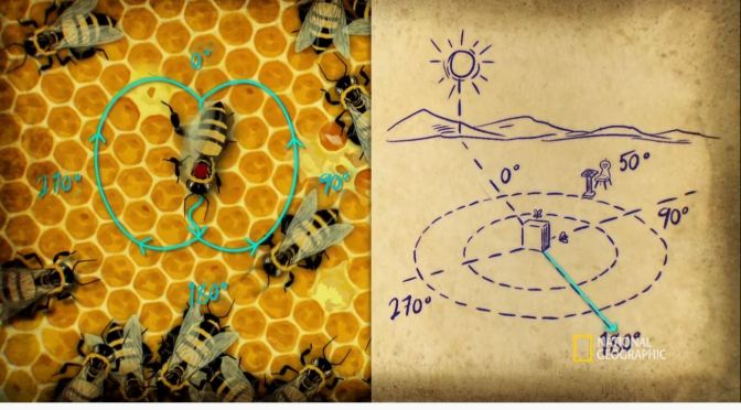 Secrets Of Nature: How Bees Communicate With Math And Coordinates (National Geographic)