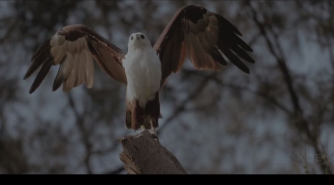 "Wildlife Conservation: Saving The  ""Brahminy Kite"" In The Seribu Islands, Indonesia (Video)"