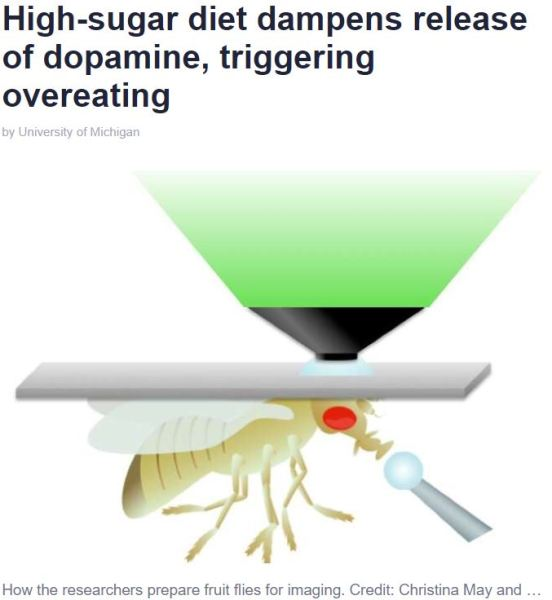 High-Sugar Diet Dampens Release of Dopamine Causing Overeating - Univ of Michigan - Credit Christina May and Monica Dus