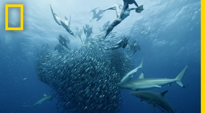 "Ocean WildLife Videos: Shark ""Sardine Feeding Frenzy"" Off South Africa"