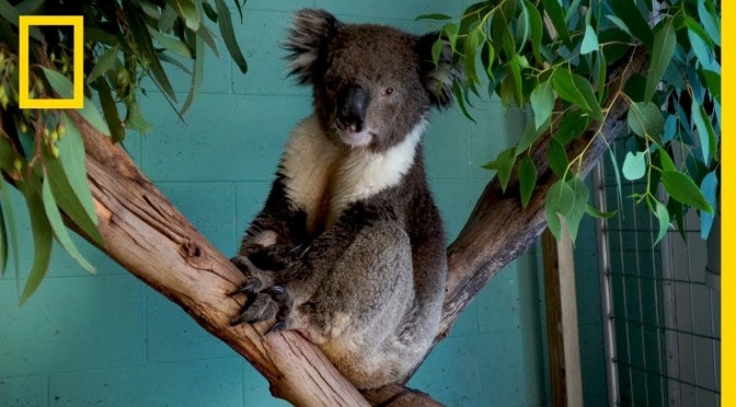 "Travel & Wildlife: ""The Future of Koalas"" in Australia (NatGeo Video)"