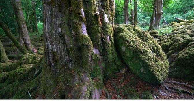"Nature & Forests Videos: The Yew Of Ireland As ""Yggdrasil – Tree Of Life"""