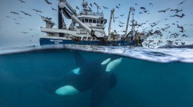 "Top New Wildlife Videos: ""Feast Of The Killer Whales"" By Didier Noirot"
