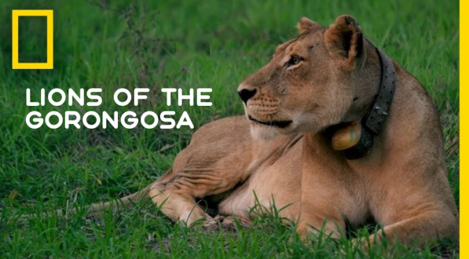 "Wildlife Videos: ""Lions Of The Gorongosa"" (NatGeo)"