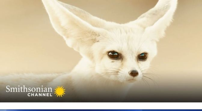 Wildlife Video: 'Fennec Foxes – Smallest Canines On Earth' (Smithsonian)