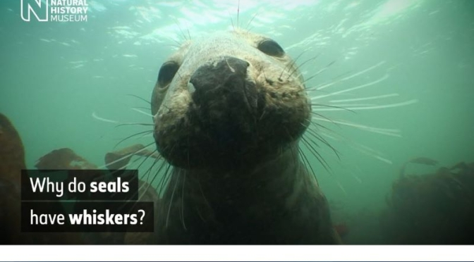 Underwater Wildlife: How Seals' Whiskers Help Them Hunt Fish (Video)