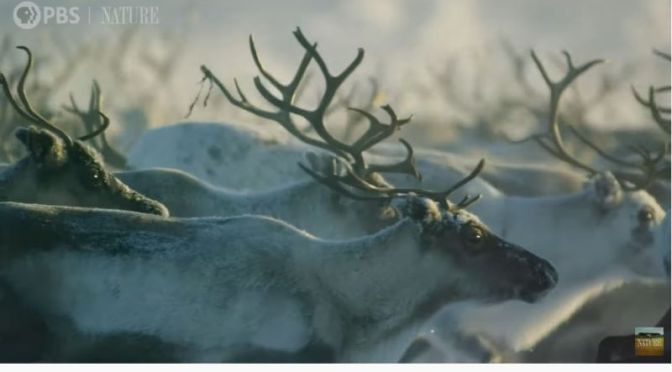 Wildlife: Epic Migration Of  Reindeer In Lapland