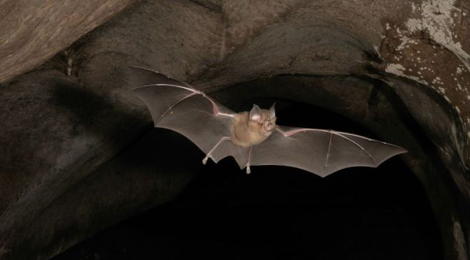 Health & Nature: 'How Bats Can Transmit Viruses'