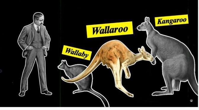 Wildlife: The Kangaroos And Wallabies Of Maria Island, Tasmania (Video)