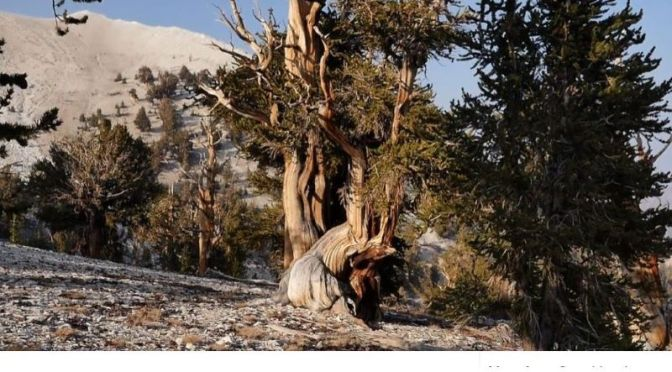 Travel Video: The 'Ancient Bristlecone Pine Forest' In Northern California