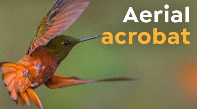 Wildlife: The 'Extreme Biology' Of Hummingbirds