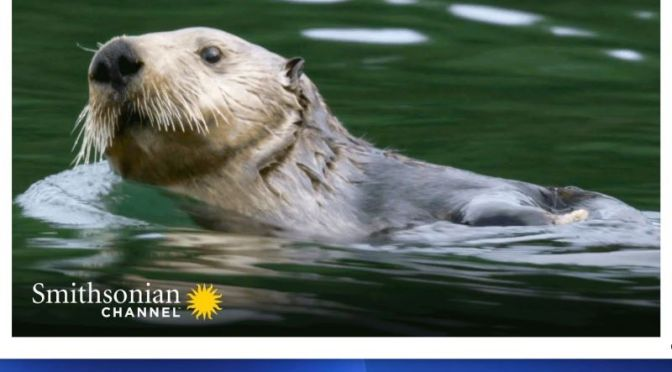 Marine Wildlife: 'Sea Otter Moms' Doing Everything For Their Pups (Video)