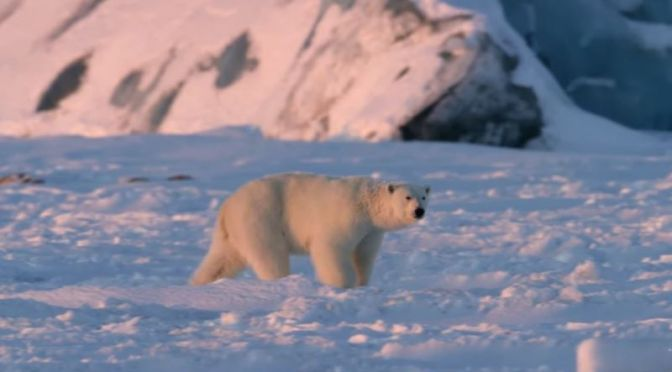 Arctic Wildlife: 'Polar Bears & Climate Change'
