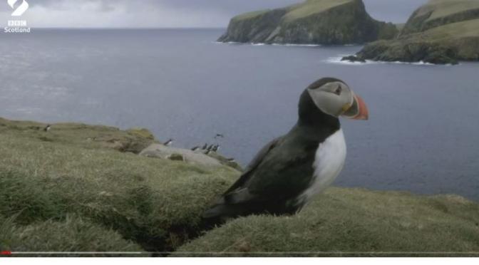 Wildlife: 'Puffins Pairing Up' In Scotland (Video)