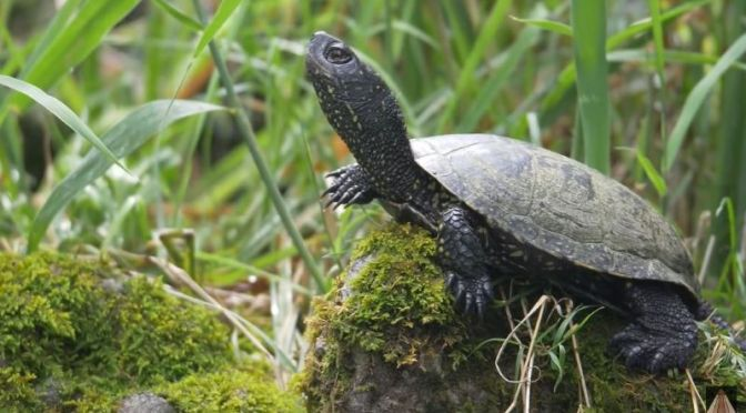 Wildlife: The Uncertain Origins And Evolution Of The Turtle (Video)