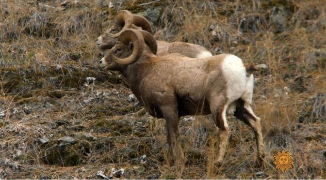 Wildlife: Big Horn Sheep In The Sapphire Mountains, Western Montana (Video)