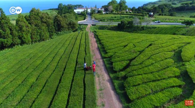 Travel & Culture: 'Chá Gorreana' Tea Plantation, The Azores, Portugal