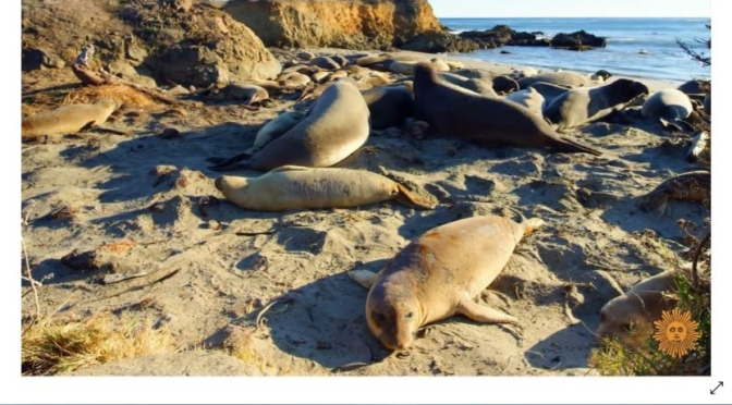 Marine Wildlife: 'Elephant Seals' On Beaches In San Simeon, California (Video)