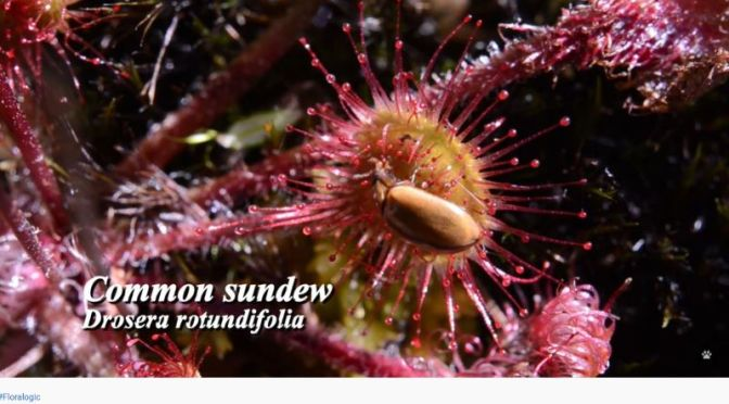 Carnivorous Plants: The Evolutionary Success Of The  'Sundews' (Video)