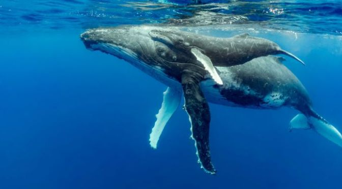 Marine Wildlife: 'The Humpback Whale' (Video)
