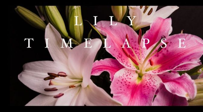 Timelapse Photography: 'Lilies In Bloom' (4K Video)