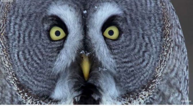 Wildlife: 'Owls – Master Aerial Predators' (Video)
