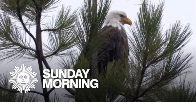 Nature: 'Bald Eagles' In Northern Idaho (Video)