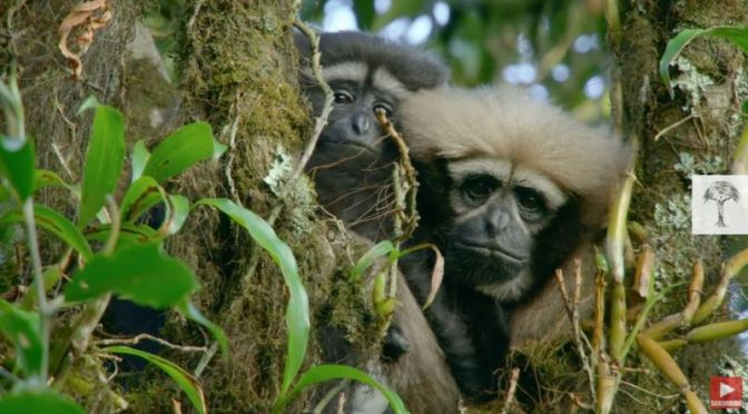 Wildlife: Saving The 'Skywalker Gibbon' Of Southwest China (Video)