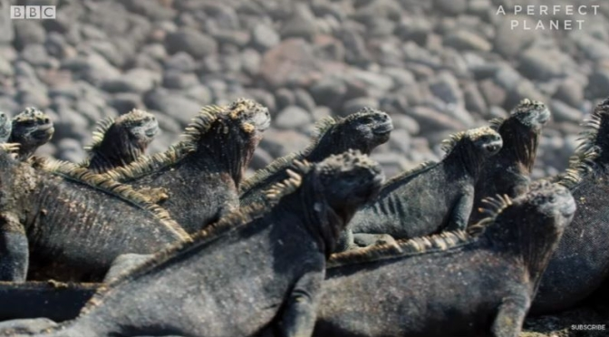 Ocean Wildlife: 'Marine Iquanas' Of The Galápagos Islands (BBC Earth Video)