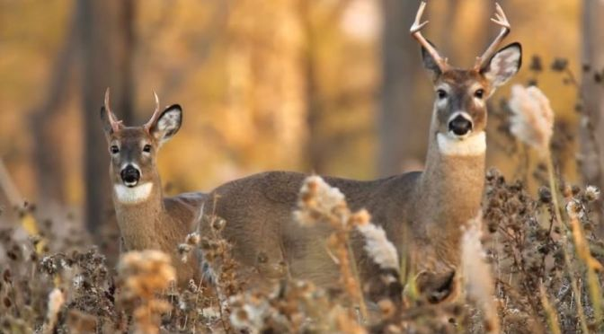 Wildlife: Deer In The 'Tifft Nature Preserve', Western New York (CBS Video)
