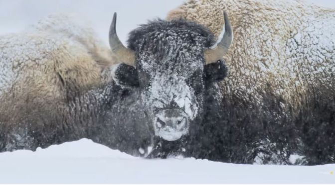 Wildlife: 'Yellowstone Bison' Are Built For Winter Survival (Video)