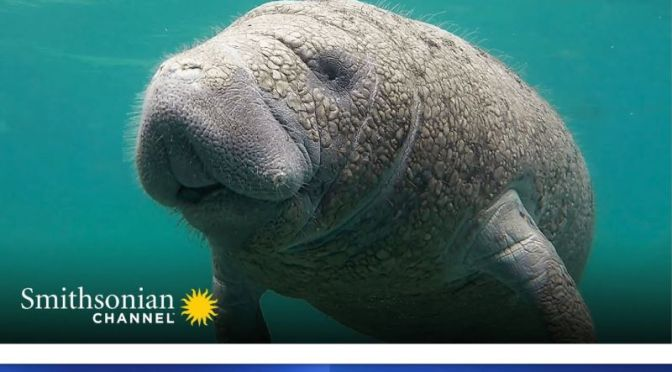 Ocean Wildlife: A Manatee Migrates To Warm Water