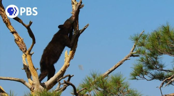 Wildlife Views: Black Bear Steals Acorns From Woodpecker In Big Bend National Park, Texas
