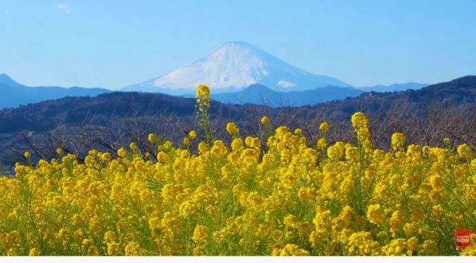 Early Spring Views: 'Mount Fuji, Japan Framed By Wild February Flowers' (Video)
