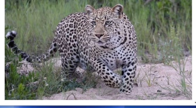 Safari Views: Leopards, Lions & Elephants In The 'Mala Mala Game Reserve' In South Africa (Video)