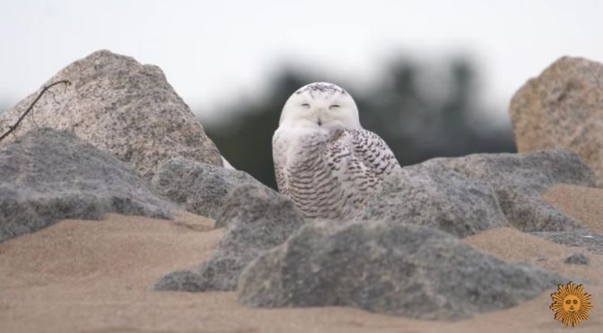Nature: 'Snowy Owls' On The Beach In Plum Island, Massachusetts (Video)