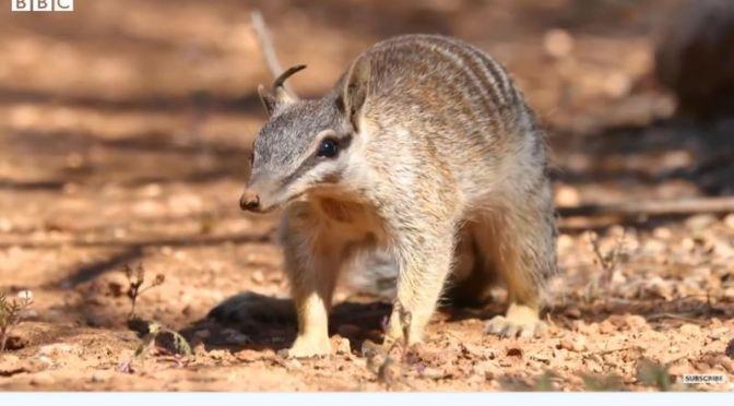 Wildlife: Saving 'Numbats' In Australia (BBC Video)