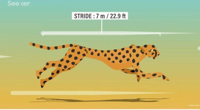 Wildlife Science: 'Why Cheetahs Are So Fast'
