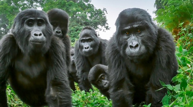Views: Best Of 'Gorillas' From BBC Earth (Video)
