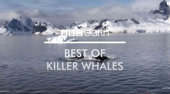 Views: Top 'Killer Whale Moments' From BBC Earth