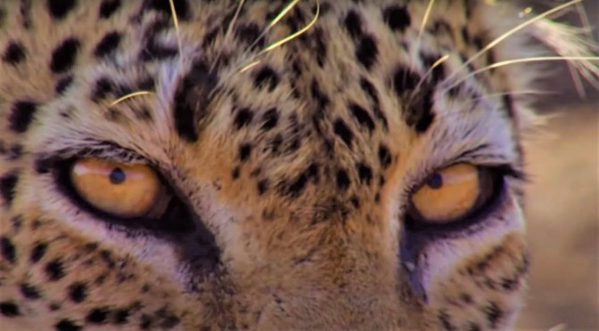 Wildlife: 'Leopards' – Top Moments From BBC Earth