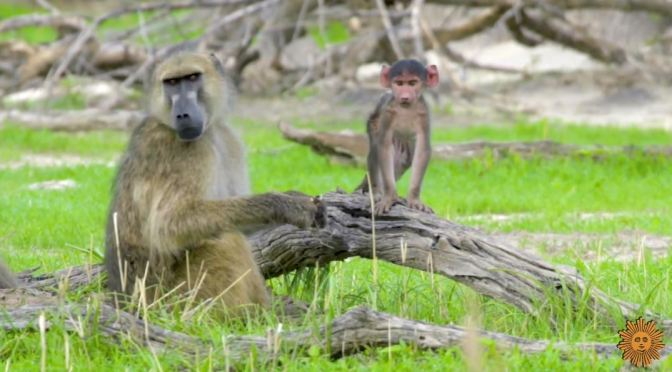 Views: Baboons In Botswana, Africa (Video)