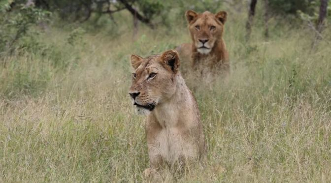 Safari Views: 'Lions & Cheetahs' – MalaMala Reserve, South Africa